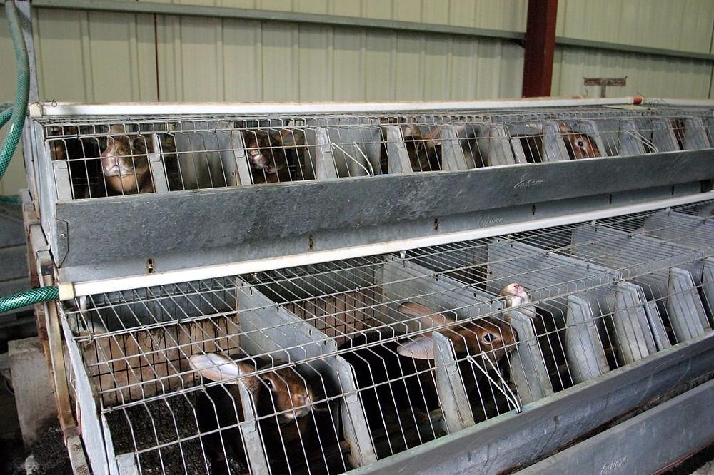 Orylag-kaninerne holdes individuelt i små bure, indtil de aflives 20 uger gamle. Foto: caft.org