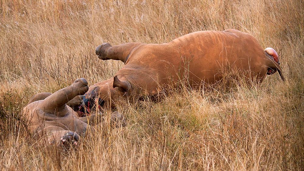 Her ses to næsehorn - en mor og hendes unge - der er blevet dræbt af krybskytter, som efterfølgende har savet hornene af. Arkivfoto