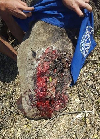 Næsehornet er blevet bedøvet, mens det behandles for sine skader. Foto: Saving The Survivors