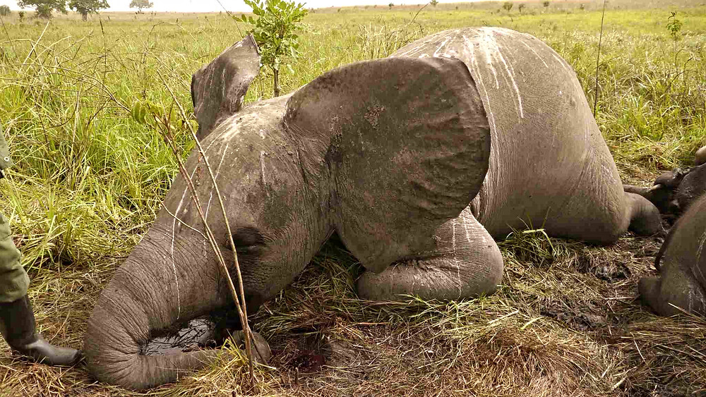Næsten halvdelen af Mozambiques elefanter er blevet dræbt af krybskytter de seneste fem år. Foto: Nuria Ortega/African Parks Network