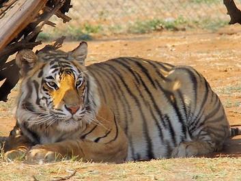 Efter årtiers tilbagegang er der godt nyt for tigeren