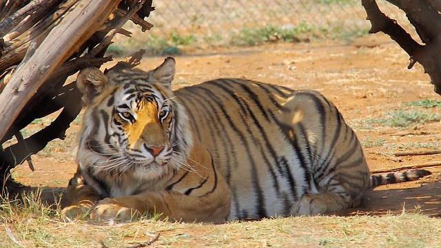 Nedgangen af vilde tigre er bremset, viser en ny optælling ifølge WWF og Global Tiger Forum. Foto: Pixabay