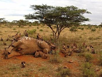 Tilladelse har givet katastrofalt bagslag for Afrikas elefanter