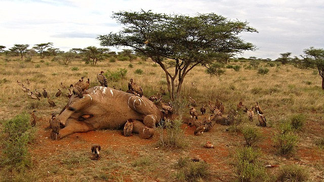 Et lovligt salg af elfenben har vist sig at øge krybskytteriet på dyrene. Foto: meaduva/flickr