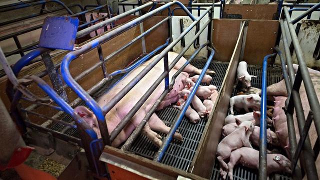 De industrialiserede konventionelle landbrug bør fratages landbrugsstøtten, som i højere grad bør deles ud til de landbrug, der tager hensyn til klima og miljø. OBS: Fotoet er ikke fra en britisk farm, men et genrefoto, der illustrerer en konventionel svineproduktion. Foto: Farm Watch/flickr