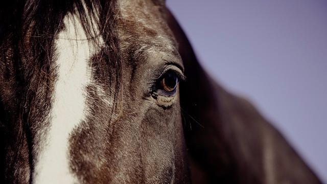 En rytter måtte aflive sin hest og har efterfølgende spist den. Det har skabt debat. Modelfoto: Pixabay