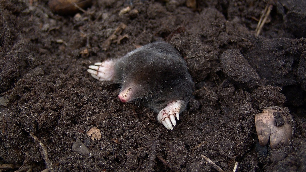 Muldvarpe er nyttedyr, og man bør lade dem være i fred. Ved at jagte dem risikerer man blot flere muldvarpeskud. Foto: Pixabay