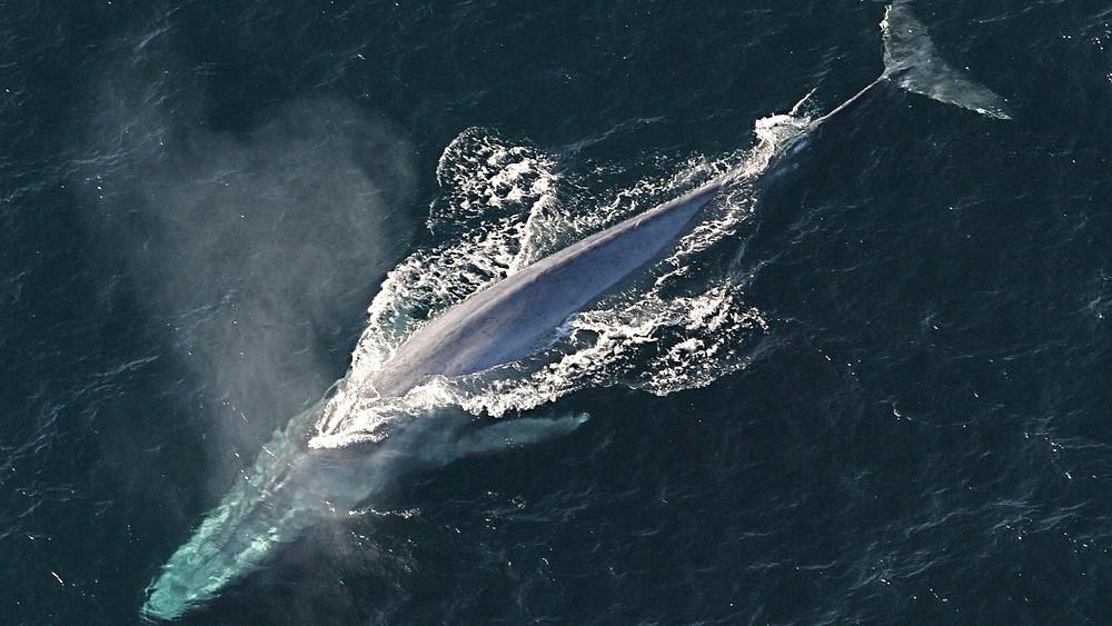 Ved at undersøge en række fangede hvalarter har forskere fundet ud af, at hvalerne er blevet mindre og mindre - sandsynligvis på grund af menneskets jagt på dem. Foto: Pixabay