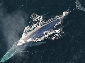 Hvaler er blevet mindre, og det kan være et dystert varsel