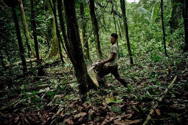 Enorme skovarealer fældes hvert år for at gøre plads til græssende kvæg, produktion af foder, palmeolie, gummi mm. Foto: Tomas Munita for Center for International Forestry Research (CIFOR)