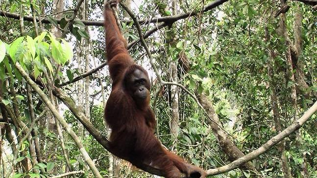 Der er flere orangutanger, end man hidtil har troet, men det skyldes, at man er blevet bedre til at tælle dem. Foto: Red Orangutangen