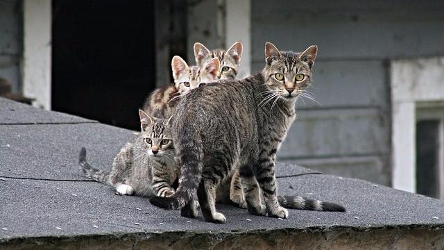 Australien har et stort problem med vilde katte, da de dræber millioner af dyr i naturen. Foto: Sara Golemon