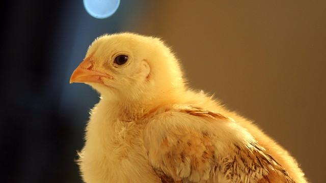 Timegamle kyllinger udviser kognitive evner på et niveau, som spædbørn ikke kan matche. Foto: Pixabay