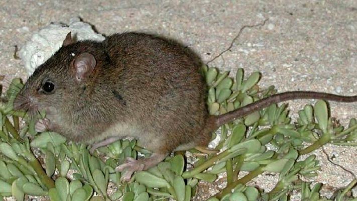 Bramble Cay melomy er sandsynligvis den første pattedyrsart, der er blevet udryddet af klimaforandringerne. Foto: Ian Bell, EHP, State of Queensland