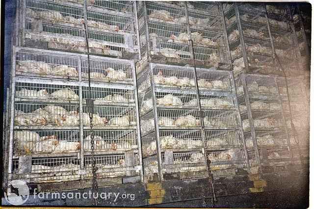 Kyllinger på vej til slagtning. Foto: Farm Sanctuary