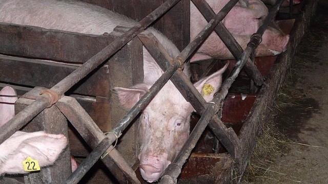"""Det er """"bizart"""", at landbruget spærrer dyr inde hele deres liv, mener en professor i bioetik. Foto: Pixabay"""
