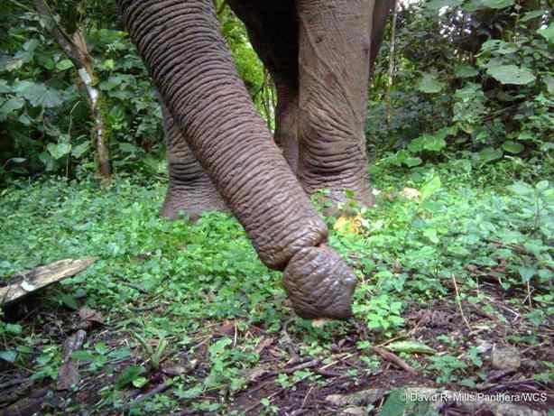 Her ses et eksempel på en elefantsnabel, der har fået tydelige mærker efter en fælde. Foto: David R Mills/Panthera