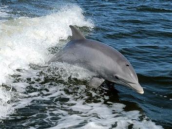 Banebrydende: Forskere har optaget samtale mellem delfiner