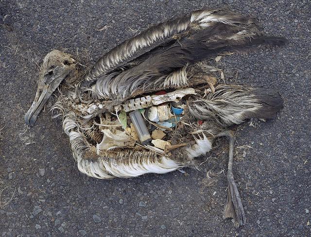Indholdet i en død albatros inkluderer bl.a. en lighter og diverse plastikrester. Foto: U.S. Fish & Wildlife Service Headquarters/Chris Jordan/flickr