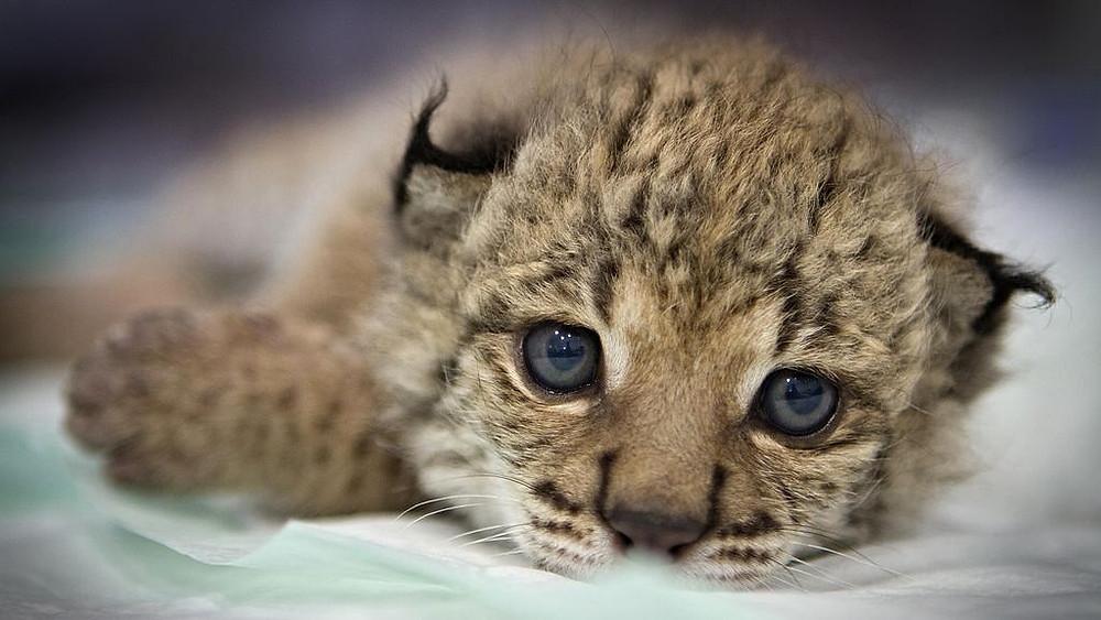 For første gang i årtier har en iberisk los født unger i den vilde natur. Denne unge er dog født i fangenskab i et naturreservat.
