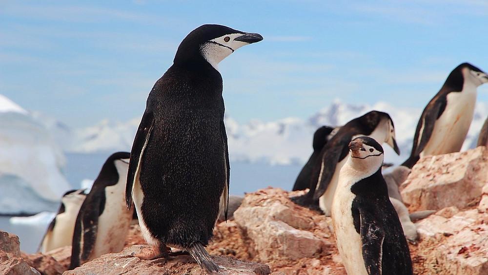 Pingvingerne får sværere levevilkår, i takt med at isen på Antarktis smelter. Foto: Pixabay