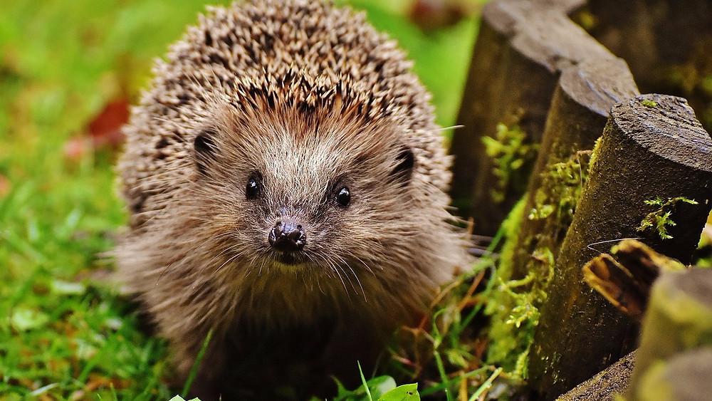 Dyrenes Beskyttelse modtager mange opkald om pindsvin fra bekymrede borgere - ofte hviler opkaldet dog på en misforståelse af pindsvinets adfærd. Foto: Pixabay