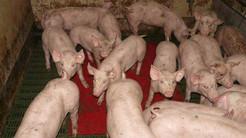Lektor: Trods store ord behandler vi stadig de fleste dyr forfærdeligt