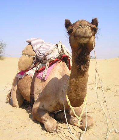 Den får ikke megen opmærksomhed i medierne, men kamelen er faktisk kritisk truet. Foto: Pixabay