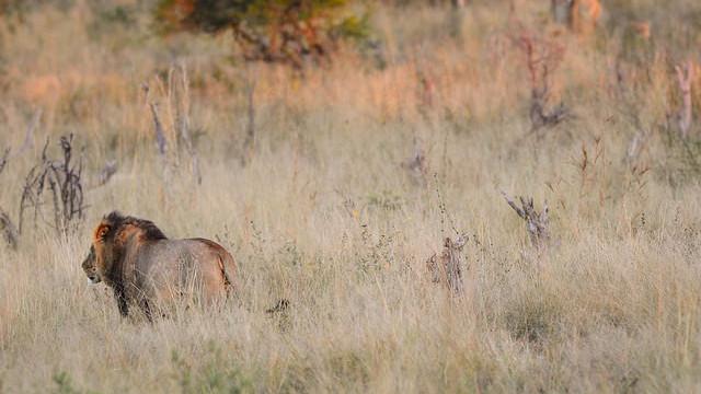 Cecil blev dræbt af en amerikansk amatørjæger. Foto: Peter Glenday/flickr