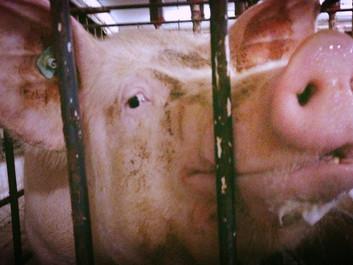 Regeringen giver ekstra millioner til nogle grise - fiksering fortsætter for de fleste