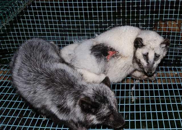 Her ses ræve på en pelsfarm i Finland. Foto: Oikeutta Eläimille/flickr