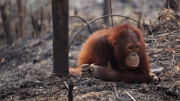 Et internationalt samarbejde ledet af Red Orangutangen skal genskabe et unikt økosystem på Borneo. Foto: Red Orangutangen