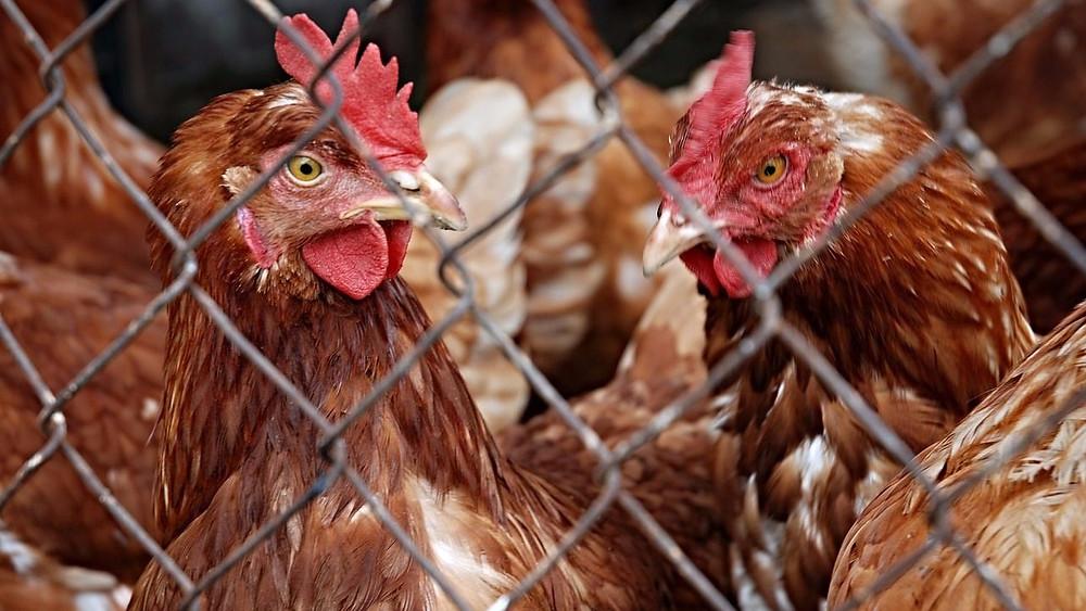 Høns er mere intelligente, end mange nok tror, konkluderer en forsker. Foto: Pixabay
