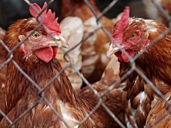 Forskning: Høns har personlighed, empati - og så kan de tælle