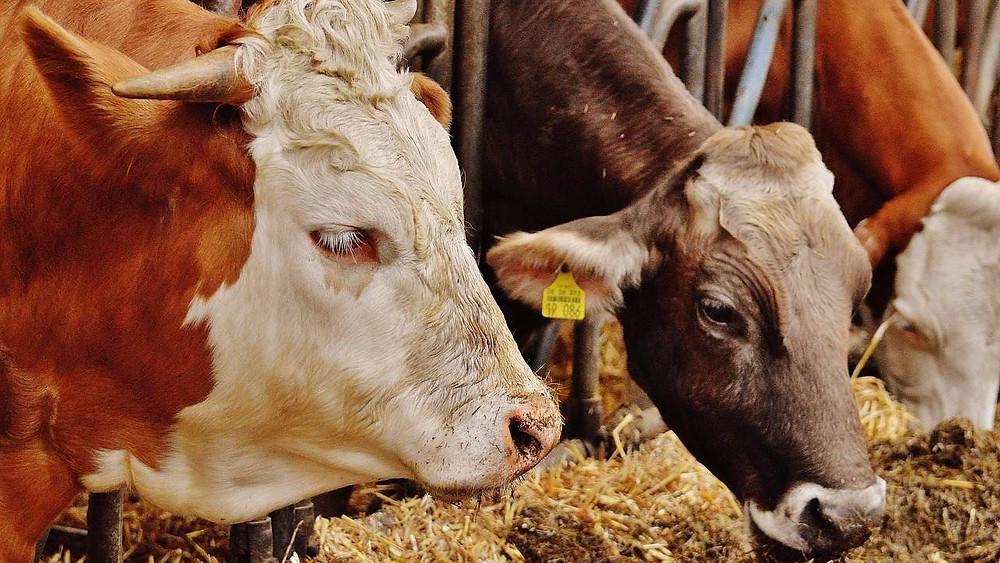 Kød- og mejeriprodukter bør ikke nyde godt af en særligt lav moms, mener den tyske miljøstyrelse. Foto: Pixabay