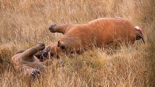 To krybskytter er dømt til 11 års fængsel for drab på næsehorn. Dette billede er dog ikke fra den pågældende sag. Foto: Hein Waschefort/Wikimedia Commons