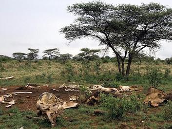 Afrikanere raser: EU er med til at udslette elefanten