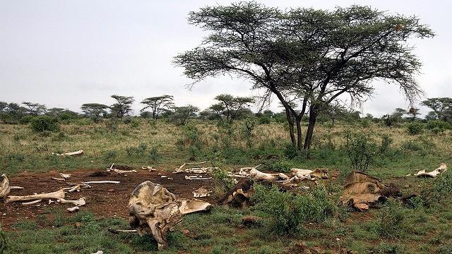 En sammenslutning af 29 afrikanske lande mener, at EU bør stemme for et totalforbud mod handel af elfenben. Foto: Mike Richardson/flickr