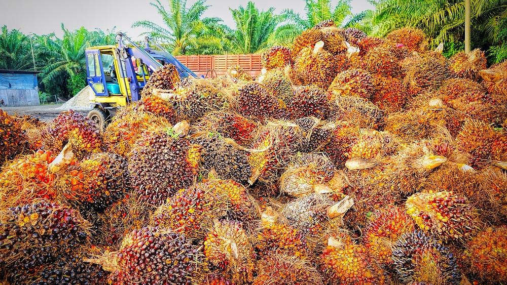 Palmeolie er problematisk for den vilde natur, men olien er svær at undgå. Foto: Pixabay