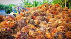 Palmeolie giver problemer for mennesker og miljø – men kan dårligt undværes
