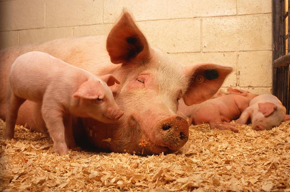 En netop indgået aftale skal forbedre dyrevelfærden i svineproduktionen.
