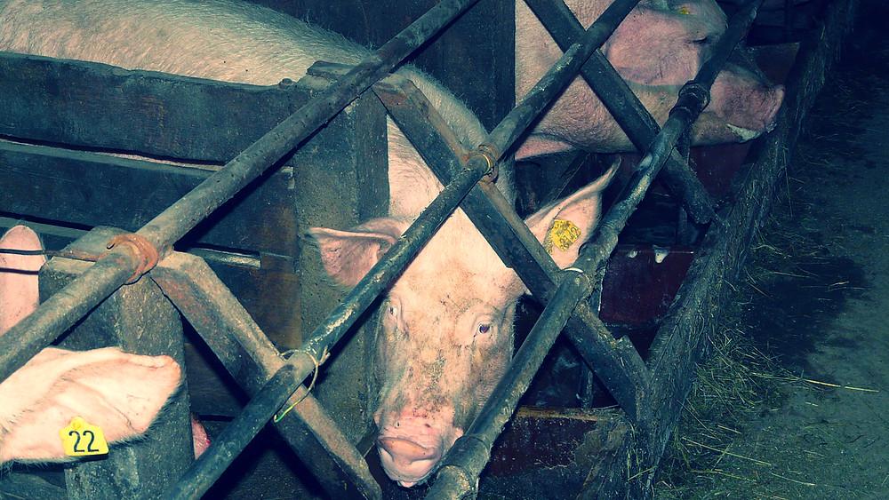 Flere og flere forbrugere i en række lande ønsker bedre velfærd for svinene. Foto: Wikimedia Commons