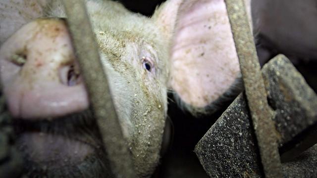 Hvordan kan vi kalde os empatiske, når vi slår følende væsener ihjel for at spise dem, spørger skribenten. Foto: Farm Watch/flickr