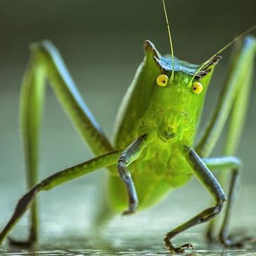 Nu skal KU uddanne insektdyrlæger