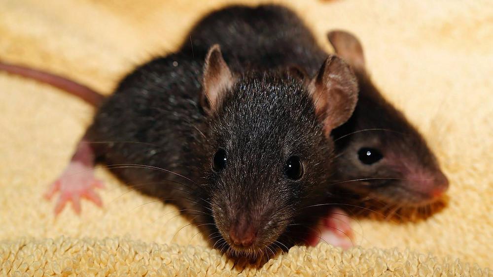 Ifølge et nyt studie tyder det på, at rotter besidder følelsesmæssig empati. Foto: Pixabay