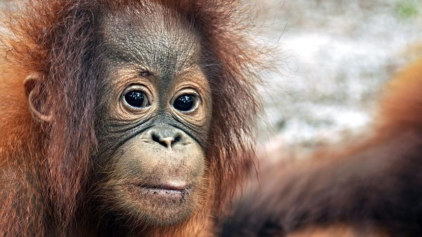 """IUCN har netop ændret status på Borneos orangutang fra """"truet"""" til """"kritisk truet"""". Foto: Red Orangutangen"""
