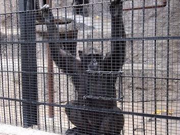 Opsigtsvækkende dom giver rettigheder til chimpanse fra berygtet zoo