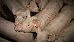 Hvornår udvides omsorgen for cirkuselefanter til landbrugsdyr?