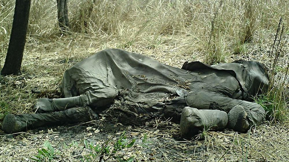 Der dræbes flere elefanter, end der fødes, så arten er ved at uddø. Det skal et nyt forskerhold forsøge at ændre på. Foto: U.S. Fish and Wildlife Service Headquarters/Wikimedia Commons