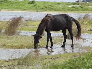 Heste skal bekæmpe ukrudt